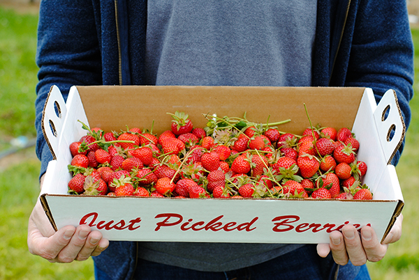 Strawberry Picking | on TheCakeBlog.com